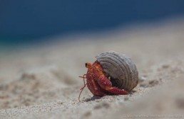 Hermit crab on Observatory Cay, Keen Reefs, Coral Sea. Image: Julia Sumerling for Silentworld Foundation, 2017.
